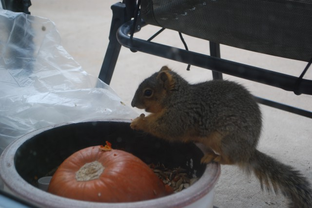 This little friend couldn't get enough of a pumpkin left over since Thanksgiving Day