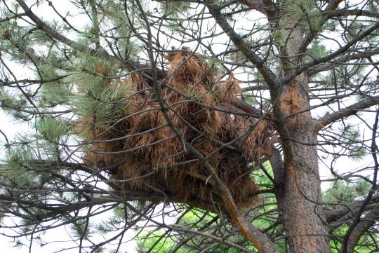 squirrell nest