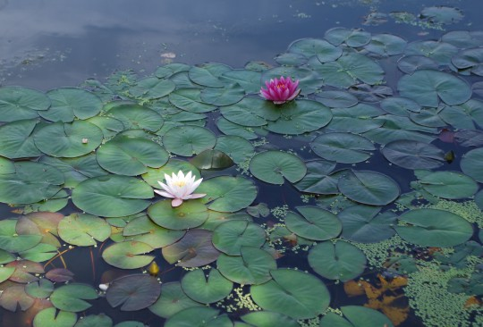 light and shadow on waterlillies
